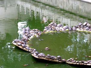 Turtles at Guiyang Temple